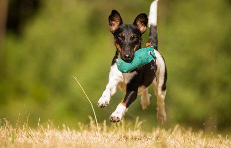 Dummytraining - Hund rennt mit Dummy
