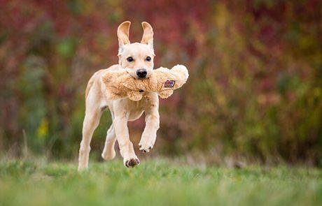 Dummytraining - Junghund rennt mit Dummy im Maul