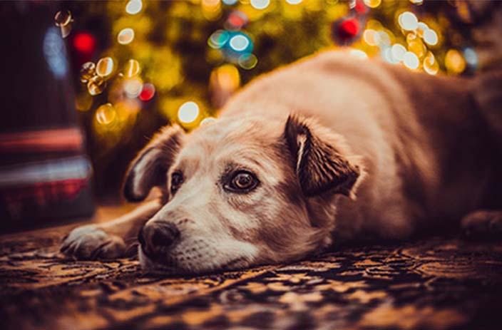 Gelassener Hund an Silvester