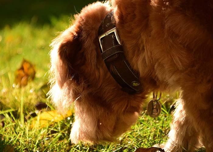 Hund schnüffelt auf Wiesenfläche
