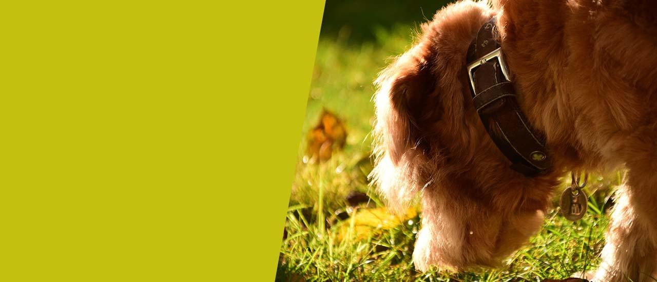 Hund schnüffelt auf Rasenfläche