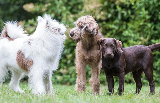 3 Hunde kommunizieren auf der Hundewiese